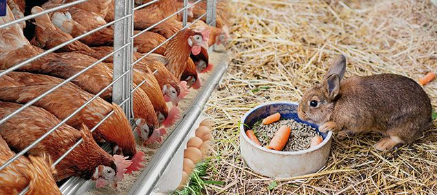 producing poultry feed pellets for domestic animals such as  chicken, duck, rabbits